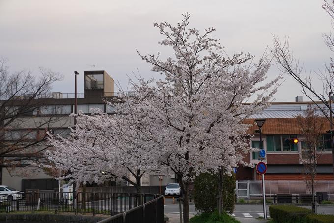 京都_桜_2020_36 疏水西部分 No21