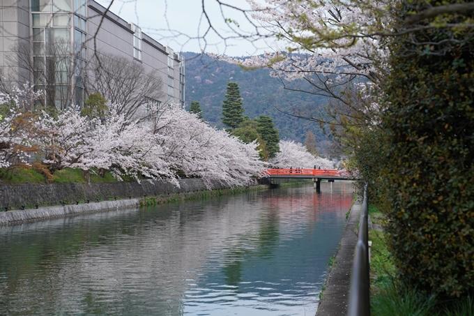 京都_桜_2020_37 岡崎疎水ライトアップ No4