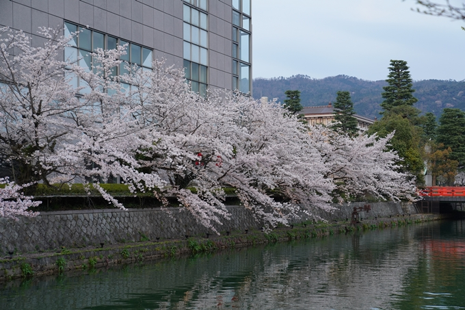 京都_桜_2020_37 岡崎疎水ライトアップ No5