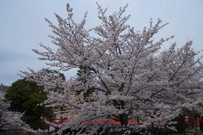 京都_桜_2020_37 岡崎疎水ライトアップ No7
