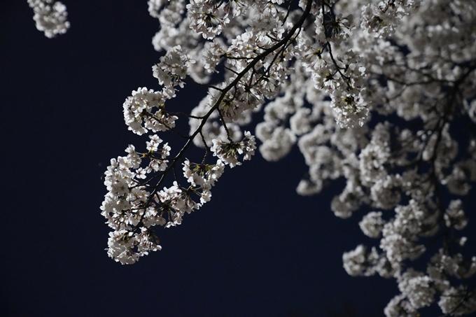 京都_桜_2020_37 岡崎疎水ライトアップ No65