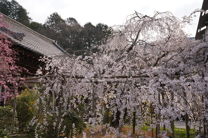 京都_桜_2020_40 毘沙門堂 No5