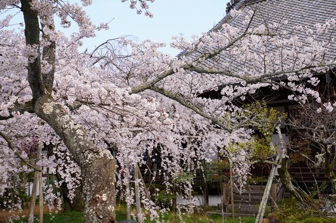 京都_桜_2020_40 毘沙門堂 No21