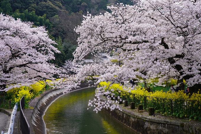 京都_桜_2020_41 No6