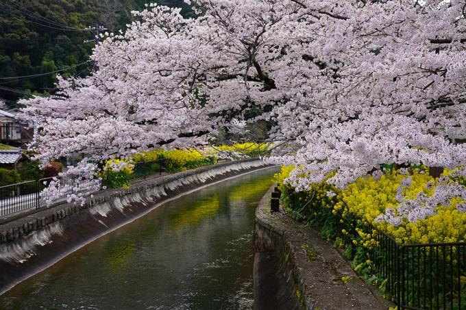 京都_桜_2020_41 No9