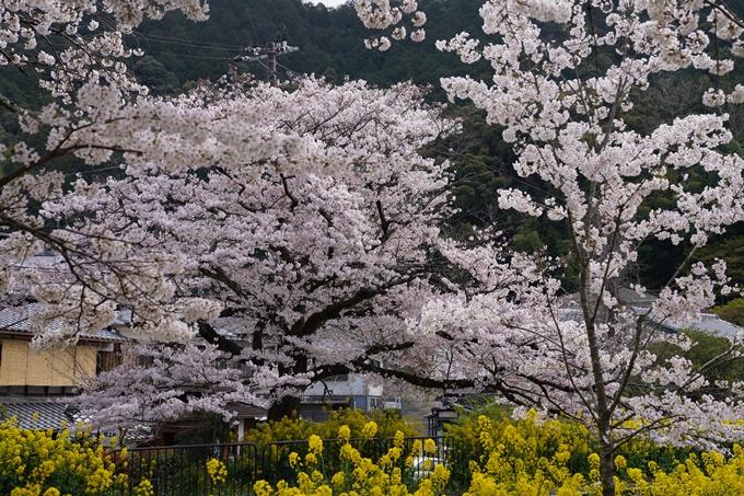 京都_桜_2020_41 No11