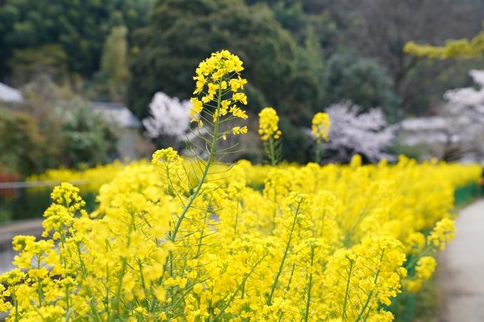 京都_桜_2020_41 No12