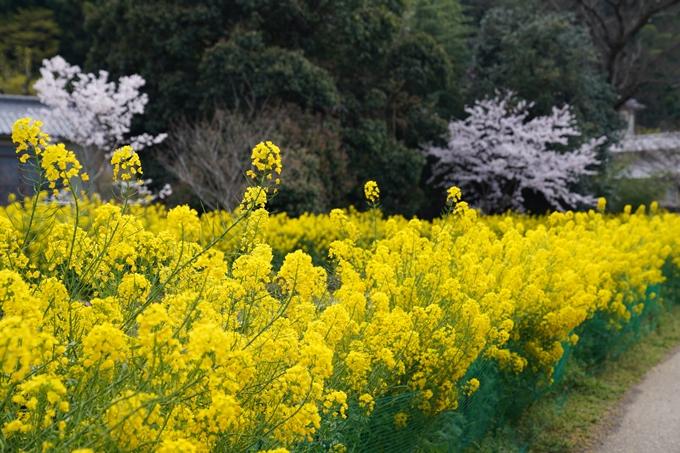 京都_桜_2020_41 No13