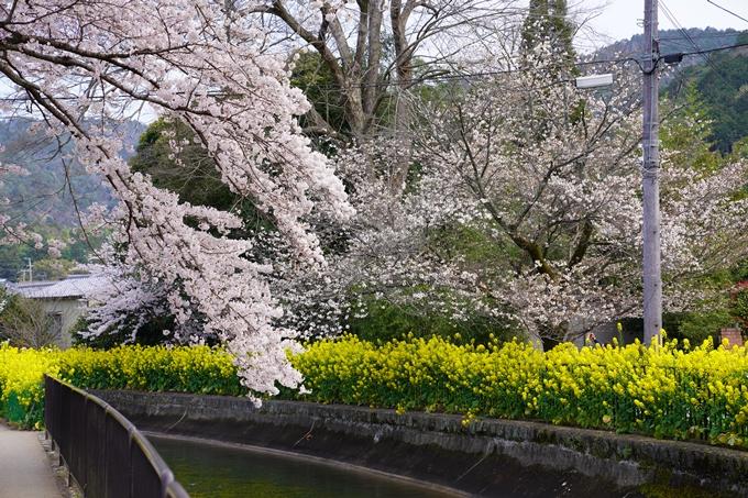 京都_桜_2020_41 No15