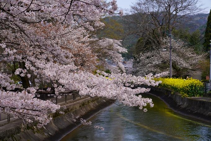 京都_桜_2020_41 No17