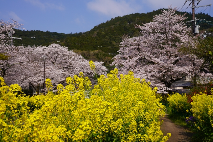 京都_桜_2020_41 No23