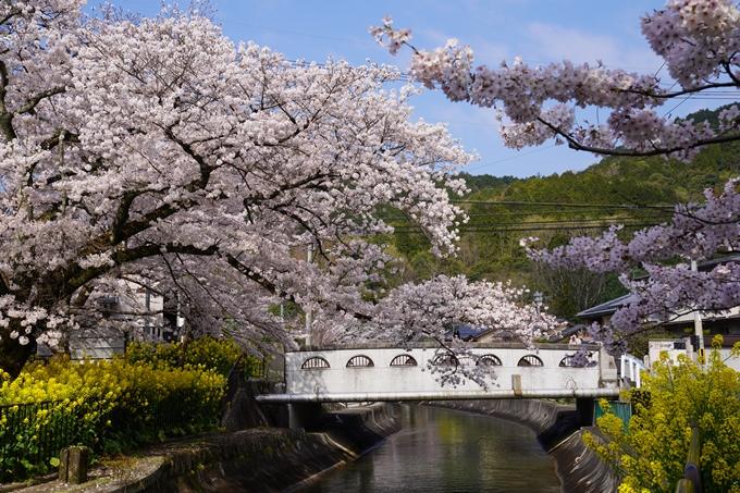 京都_桜_2020_41 No24