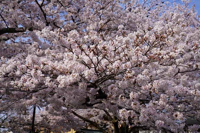 京都_桜_2020_41 No25