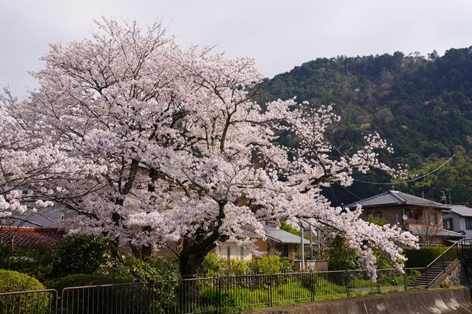 京都_桜_2020_41 No29