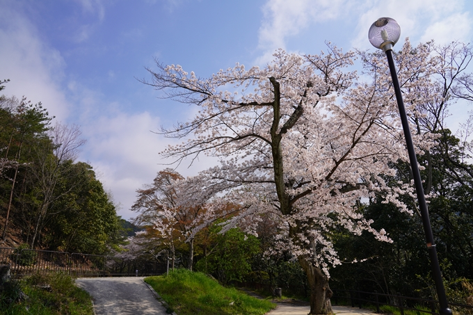 京都_桜_2020_41 No31