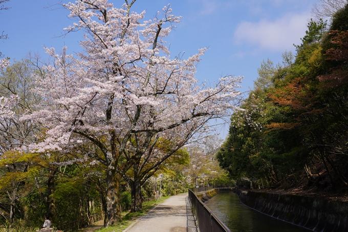 京都_桜_2020_41 No33