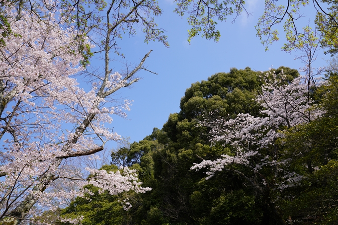 京都_桜_2020_41 No35