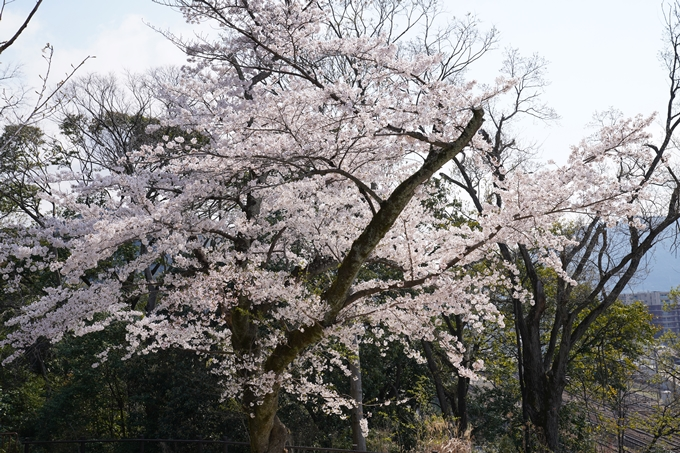 京都_桜_2020_41 No37