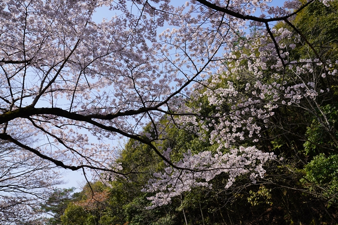 京都_桜_2020_41 No38