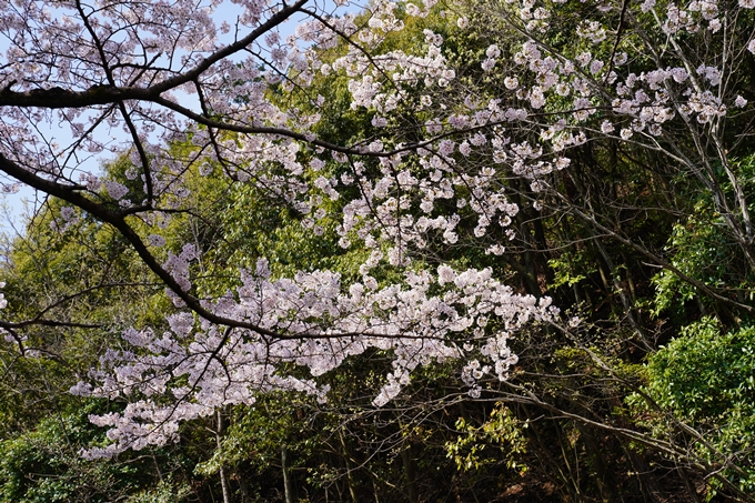 京都_桜_2020_41 No39