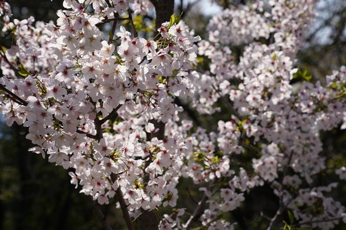 京都_桜_2020_41 No40