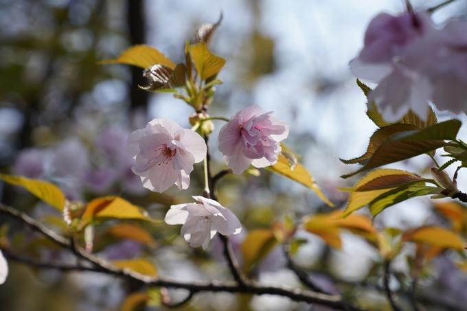 京都_桜_2020_41 No41
