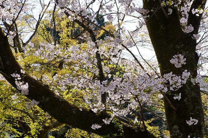 京都_桜_2020_41 No42