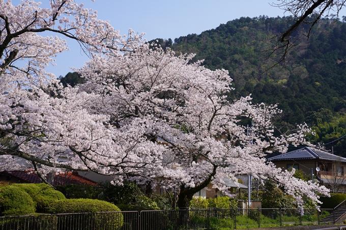 京都_桜_2020_41 No45