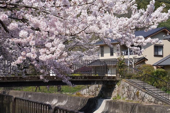 京都_桜_2020_41 No49