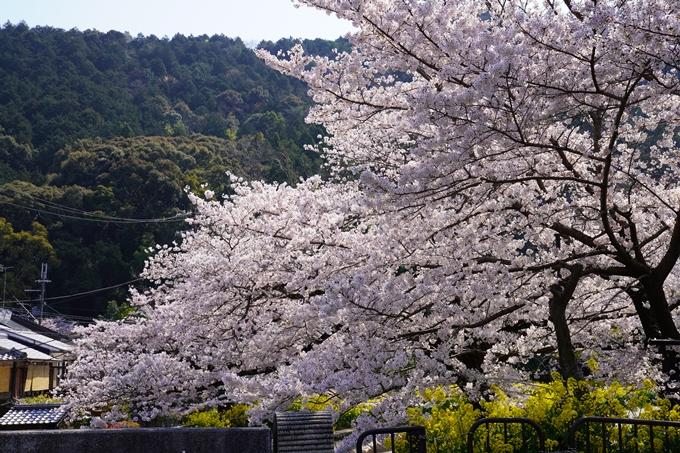 京都_桜_2020_41 No50