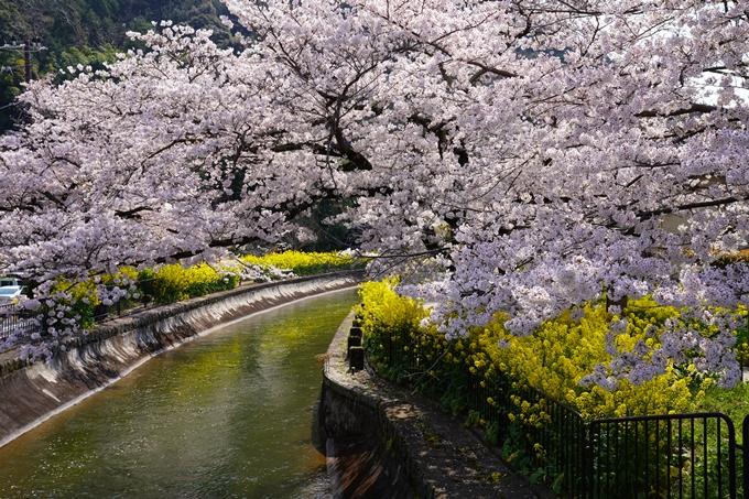 京都_桜_2020_41 No52