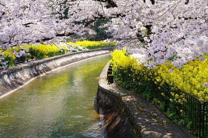 京都_桜_2020_41 No53