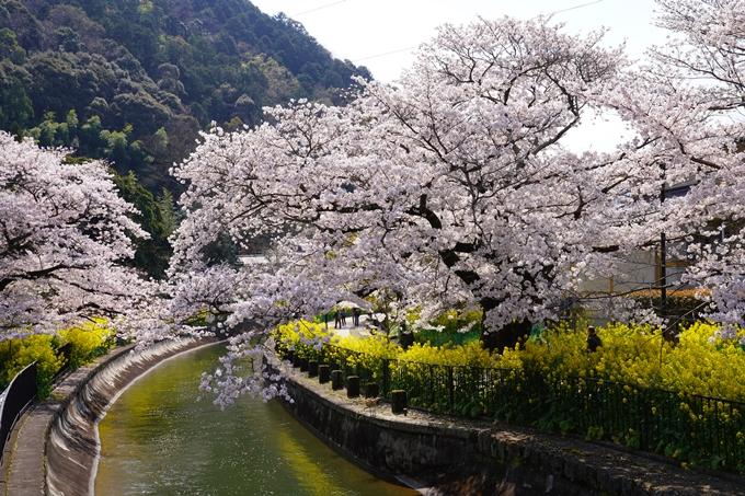 京都_桜_2020_41 No54