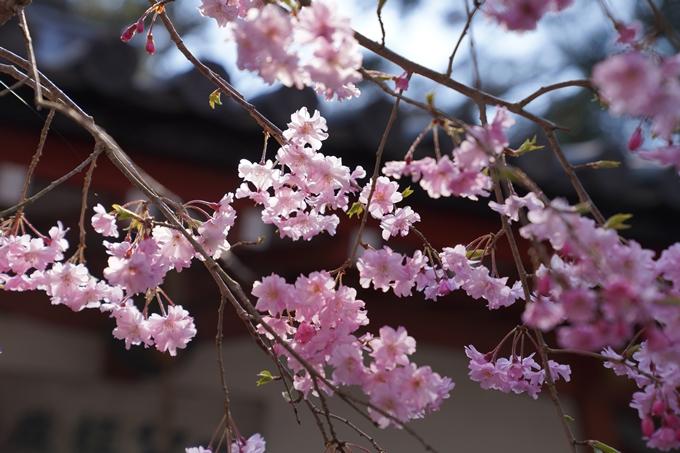京都_桜_2020_41 No60