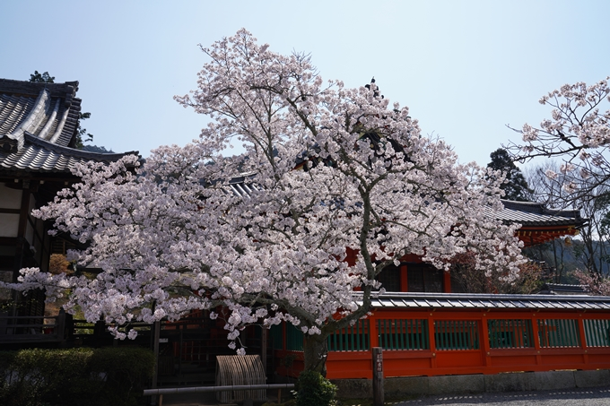 京都_桜_2020_41 No63
