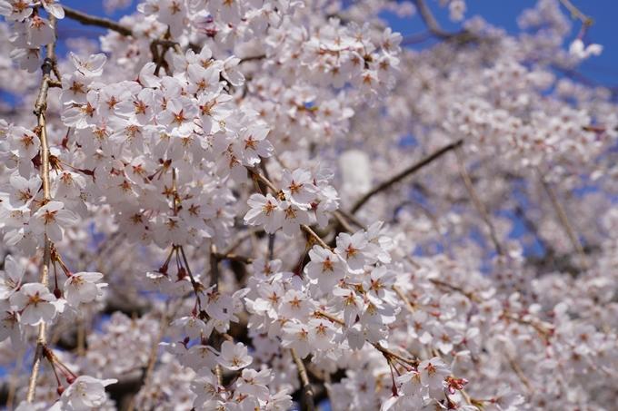 京都_桜_2020_41 No65