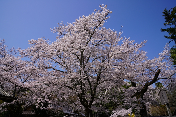 京都_桜_2020_41 No68