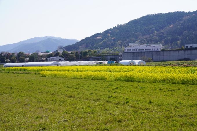 京都_桜_2020_42 大堰川堤防 No2