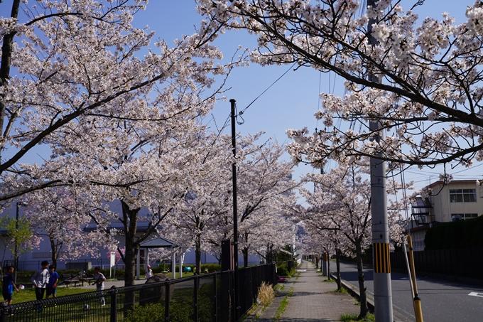 京都_桜_2020_42 大堰川堤防 No3