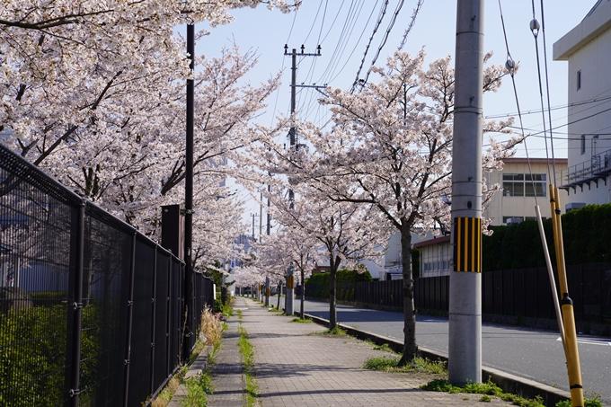 京都_桜_2020_42 大堰川堤防 No4