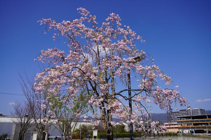 京都_桜_2020_42 大堰川堤防 No5