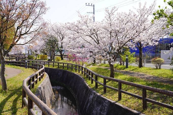 京都_桜_2020_42 大堰川堤防 No12