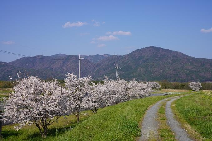 京都_桜_2020_42 大堰川堤防 No15