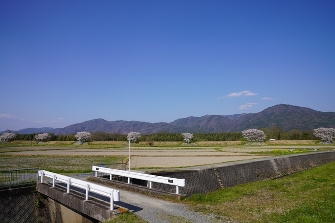 京都_桜_2020_42 大堰川堤防 No16