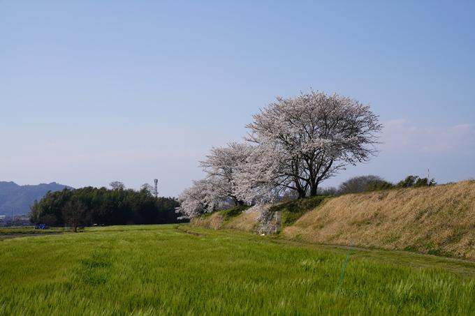 京都_桜_2020_42 大堰川堤防 No17