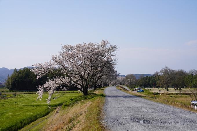 京都_桜_2020_42 大堰川堤防 No19
