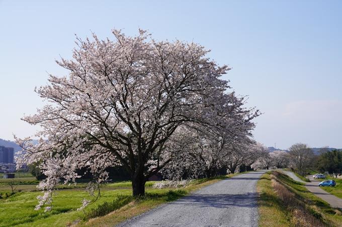 京都_桜_2020_42 大堰川堤防 No20