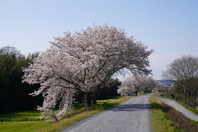 京都_桜_2020_42 大堰川堤防 No23