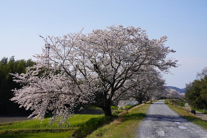 京都_桜_2020_42 大堰川堤防 No25