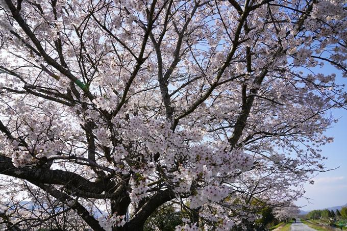 京都_桜_2020_42 大堰川堤防 No28